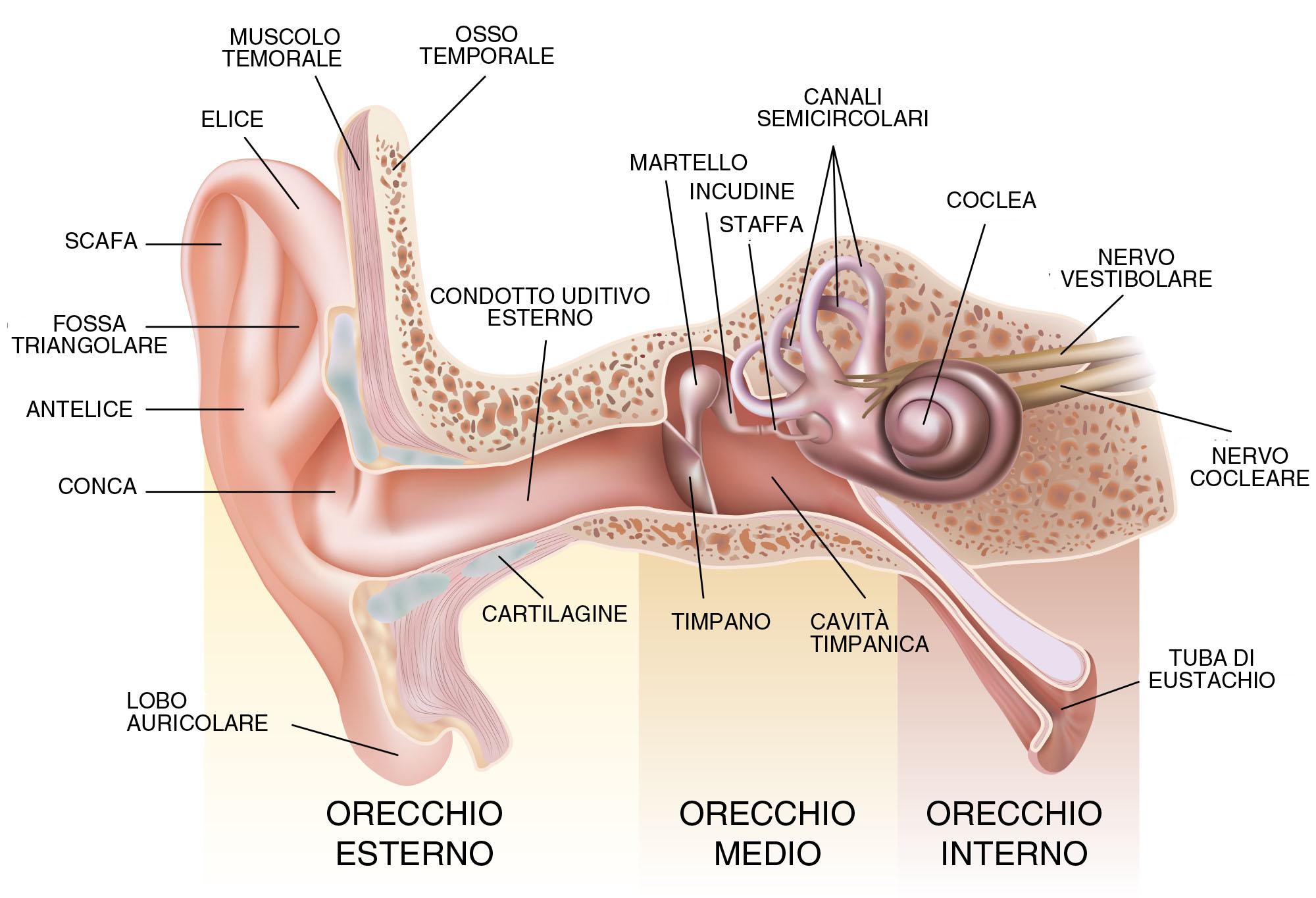 parti dell'orecchio
